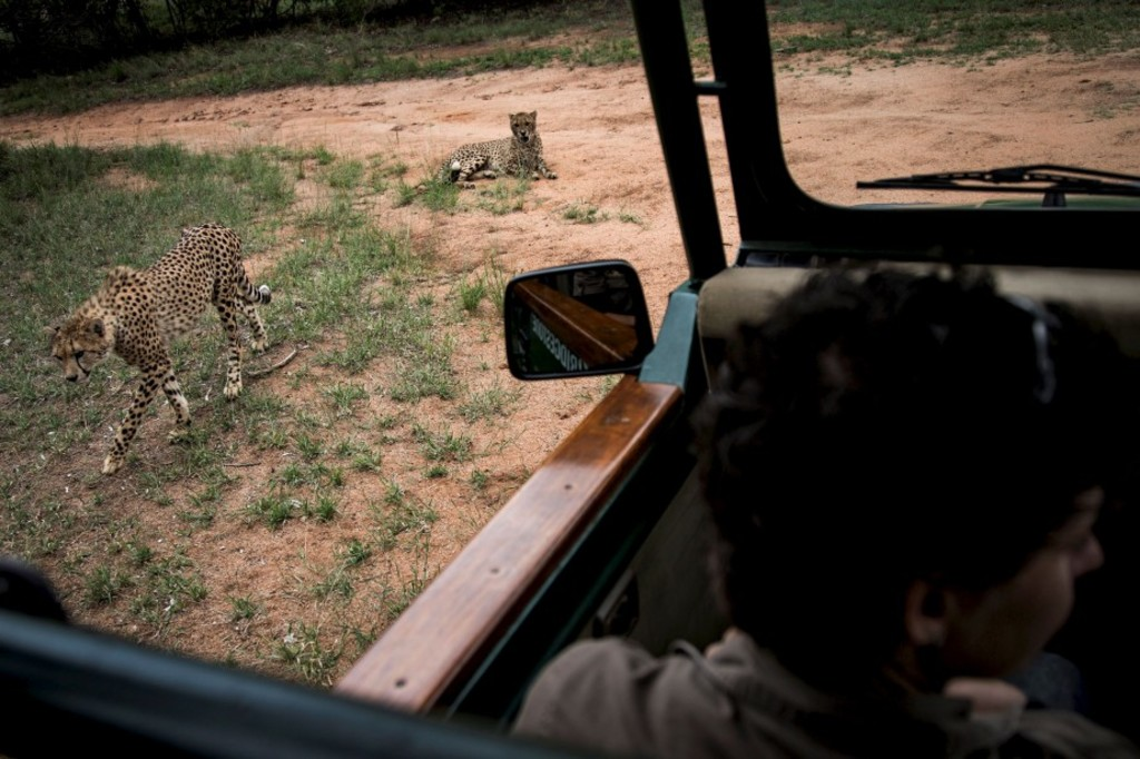 "Two Juvenile male cheetahs are pictured from a car inside a closed camp at the Ann van Dyk Cheetah Centre on December 30, 2016 in Hartbeespoort, South Africa. Cheetahs are ""sprinting"" to extinction due to habitat loss and other forms of human impact, according to a new study out this week which called for urgent action to save the world's fastest land animals. / AFP PHOTO / JOHN WESSELS"