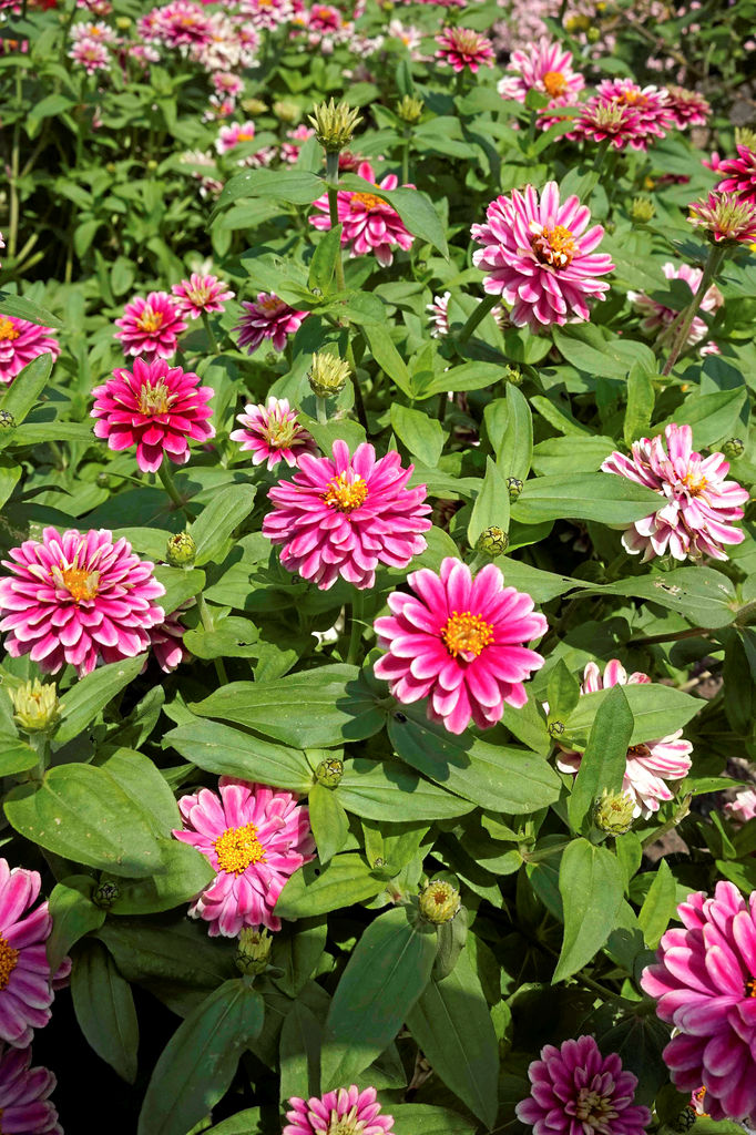 Zinnia Double Zahara Raspberry Ripple
