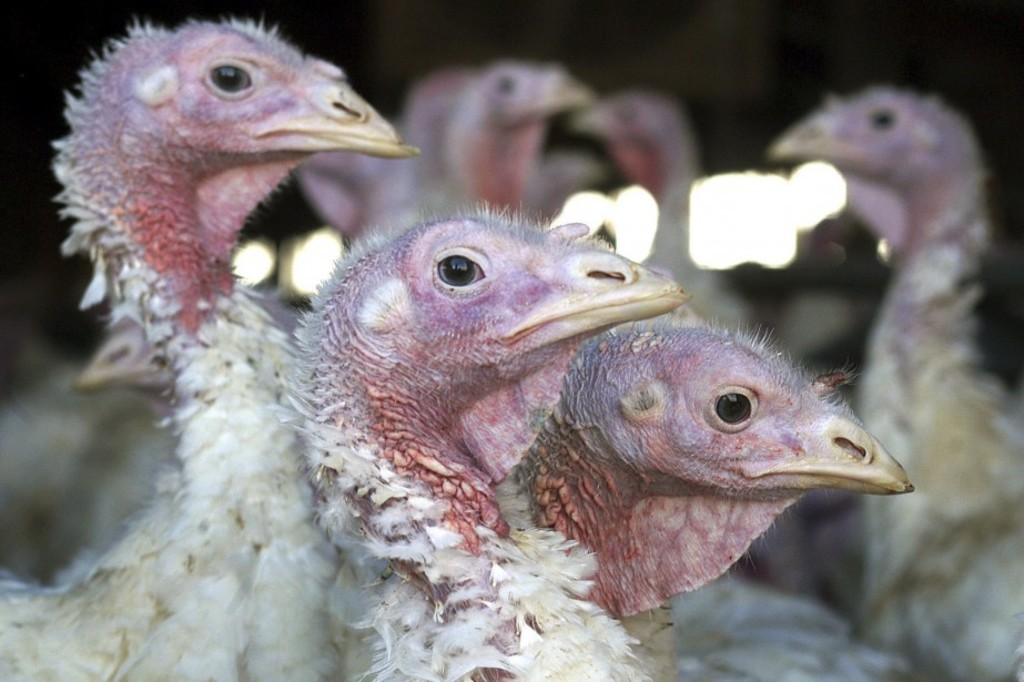 ADVANCE FOR DEC. 25 AND THEREAFTER - FILE - In this Nov. 2, 2005, file photo, turkeys are seen at a turkey farm near Sauk Centre, Minn. A dangerous strain of avian influenza turned up in turkey flocks in Minnesota and Missouri. The disease is carried by wild waterfowl, and authorities are trying to determine how the commercial flocks became infected. (AP Photo/Janet Hostetter, File)