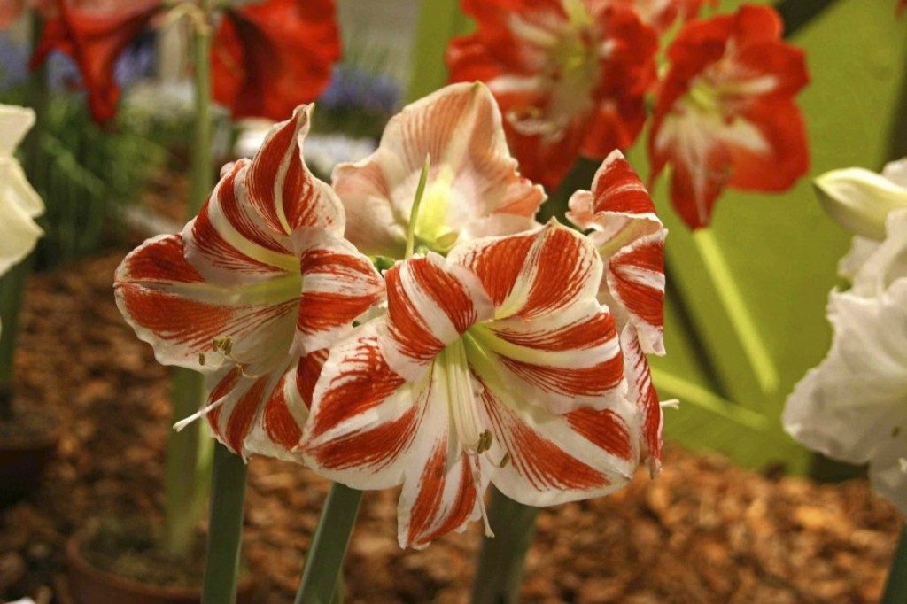 <p>Faire refleurir une amaryllis prend une certaine attention.</p>