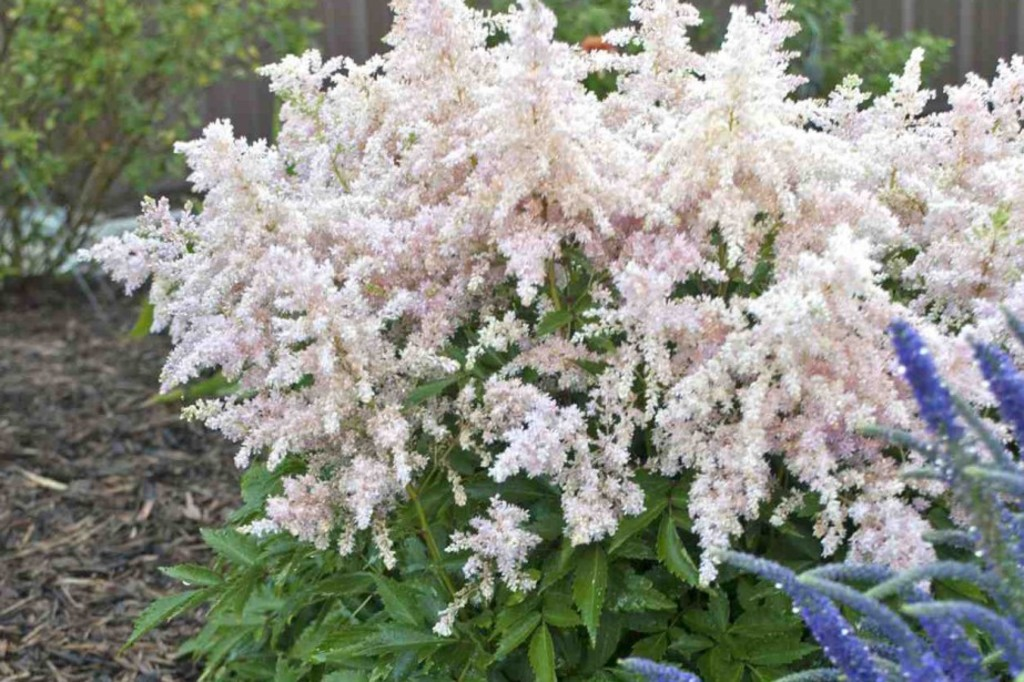 <p>Astilbe 'Younique Silvery Pink'</p>