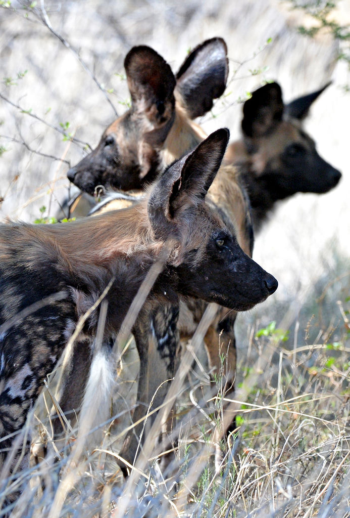 Chiens sauvages africains