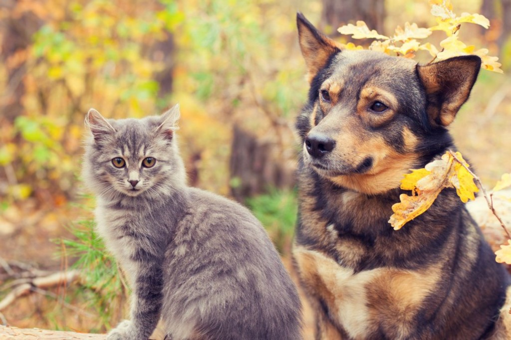 46575228 - dog and cat best friends sitting together outdoors in autumn forest