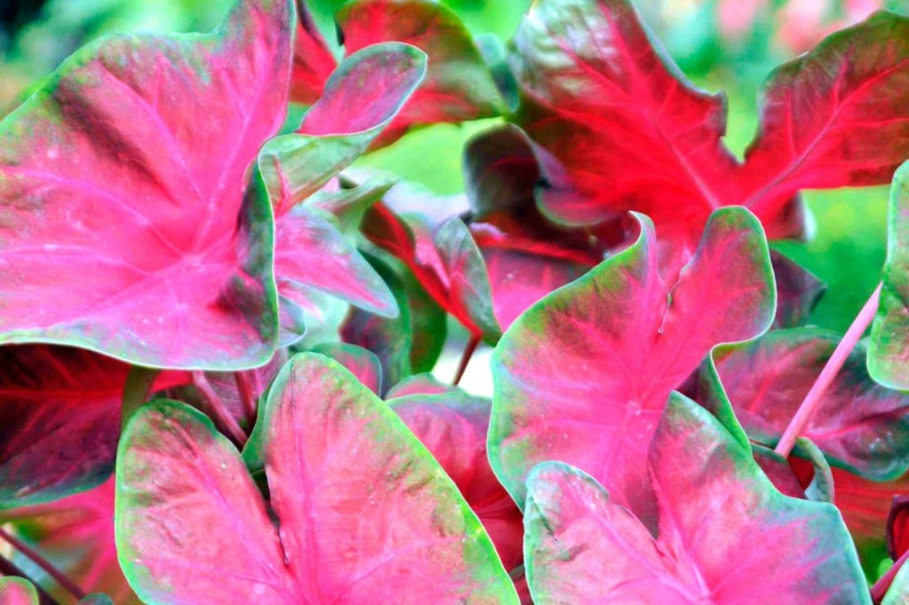 <p><strong></strong><i>Caladium 'Red-Bellied Tree Frog' </i>(<i>Caladium </i>'Red-Bellied Tree Frog')</p>