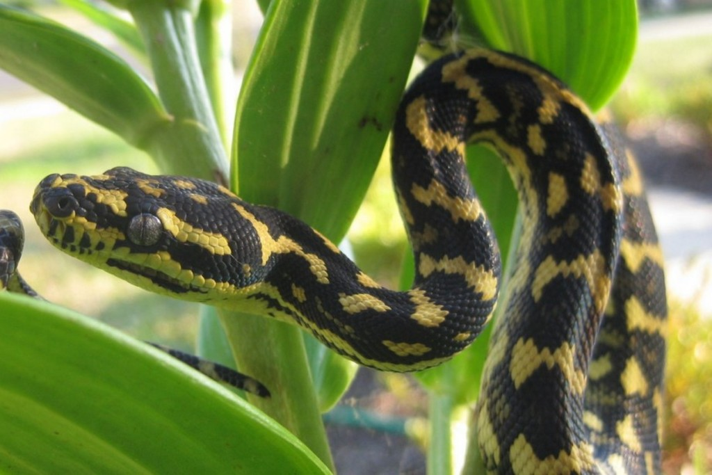 Un python «jungle carpet» (<i>Morelia spilota cheynei)</i>